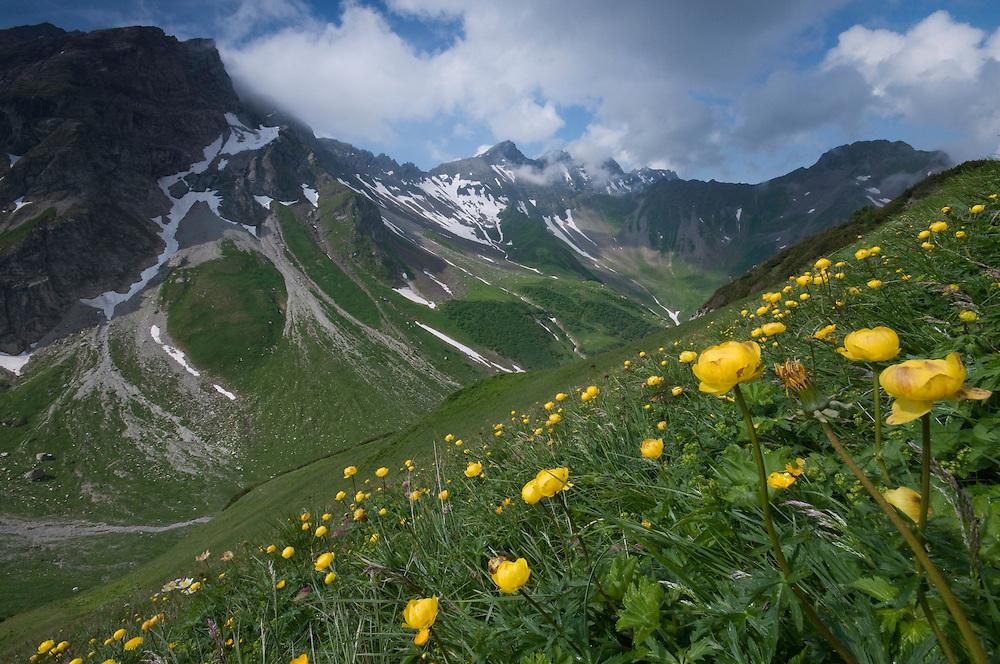 Trollius europaeus; Globe flower; In background the Grauspitz; highest mountain Liechtenstein;