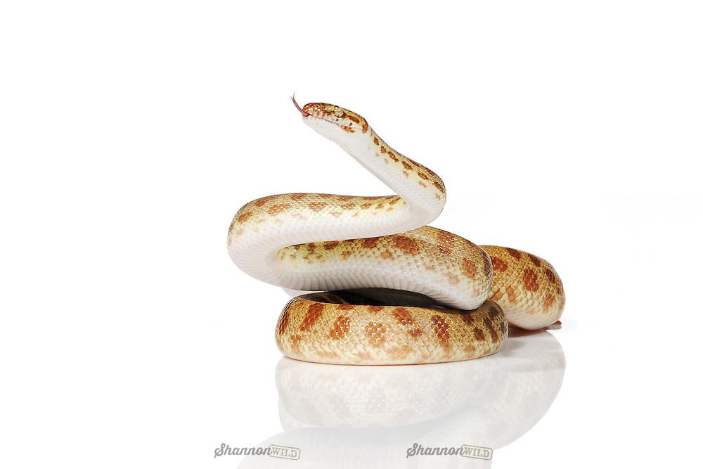 Reduced Pattern Gold Stimson Python (Antaresia stimsoni).  Female.