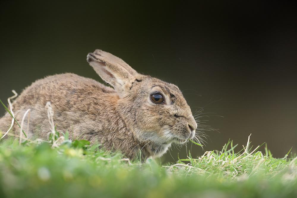 Grazing, rabbit, Lunga, Scotland