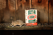A bushy-tailed woodrat (Neotoma cinerea) scurries along the shelf of an abandoned shack in NE Oregon. Photographed at night with a remote camera. Bushy-tailed woodrats often take up habitation in man-made structures.