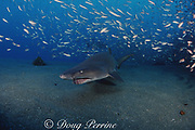 sand tiger shark, Carcharias taurus, wreck of the Papoose, N. Carolina, United States ( Western Atlantic Ocean )