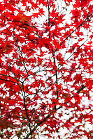 """Red Flight"" - Fine Art Limited Edition print. 20 Prints. Maple Tree in Fall colors near Discovery Park, magnolia, Seattle, Washington."