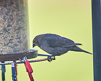 Female Brown-headed Cowbird. Image taken with a Nikon D5 camera and 600 mm f/4 VR lens (ISO 1250, 600 mm, f/4, 1/1250 sec).
