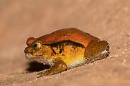 Madagascar tomato frog, crapaud rouge de Madagascar (Dyscophus antongilii) <br /> MADAGASCAR: Toamasina province<br /> Peyrieras reptile preserve near Andasibe<br /> 4-Jun-2018<br /> J.C. Abbott &amp; K.K. Abbott