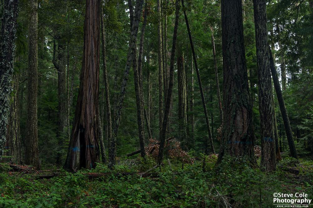 Zinc Timber Sale Unit H #1- South Umpqua River
