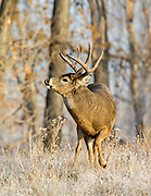 A large whitetail buck performs a Flehmen response (lip curl) as a doe passes by.