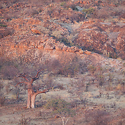 Babob in landscape of Mapungubwe National Park. South Africa in winter. The large tree is a baobab.