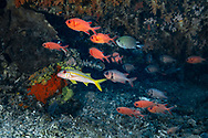 Soldierfish-Poisson soldat (Myripristis murdjan), Nusa Penida island, Bali, Indonesia.