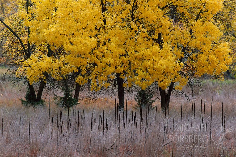 Fall turns Ash tree leaves bright yellow. Fort Niobrara National Wildlife Refuge, Nebraska.