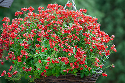 Diascia barberae 'Balromed' syn. Romeo Red - Romeo Group in a hanging basket