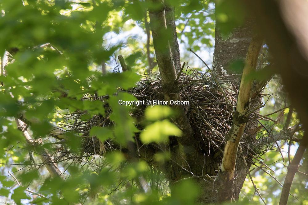 Northern Goshawk nest