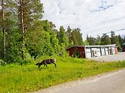 Reindeer by the road. Reinsdyr er ofte å se langs vegen. Innlandsvegen, Europavei 45, E45, i Sverige er en stamvei som går mellom Göteborg og Karesuando. Den er del av europavei 45 og er med 1690 km Sveriges lengste vei.  E45 i Sverige kallas även för Inlandsvägen. Den har fått sitt namn eftersom den går i inlandet längs hela sträckan och till större delen ganska nära Inlandsbanan. Den går så pass nära att E45 korsar inlandsbanan 28 gånger mellan Mora och Gällivare; de flesta av dessa korsningar är i samma plan. E45 är skyltad motorväg och 100 km/h i stort sett hela vägen mellan Göteborg och Trollhättan. Resterande sträcka i Götaland och Svealand är vägen i huvudsak skyltad 90 km/h och i Norrland oftast 90 eller 100.