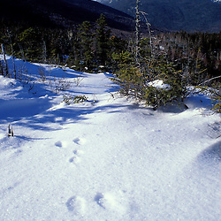 Snowshoe hare tracks and Mt. Adams in NH's White Mountain National Forest.  Mt. Washington, NH