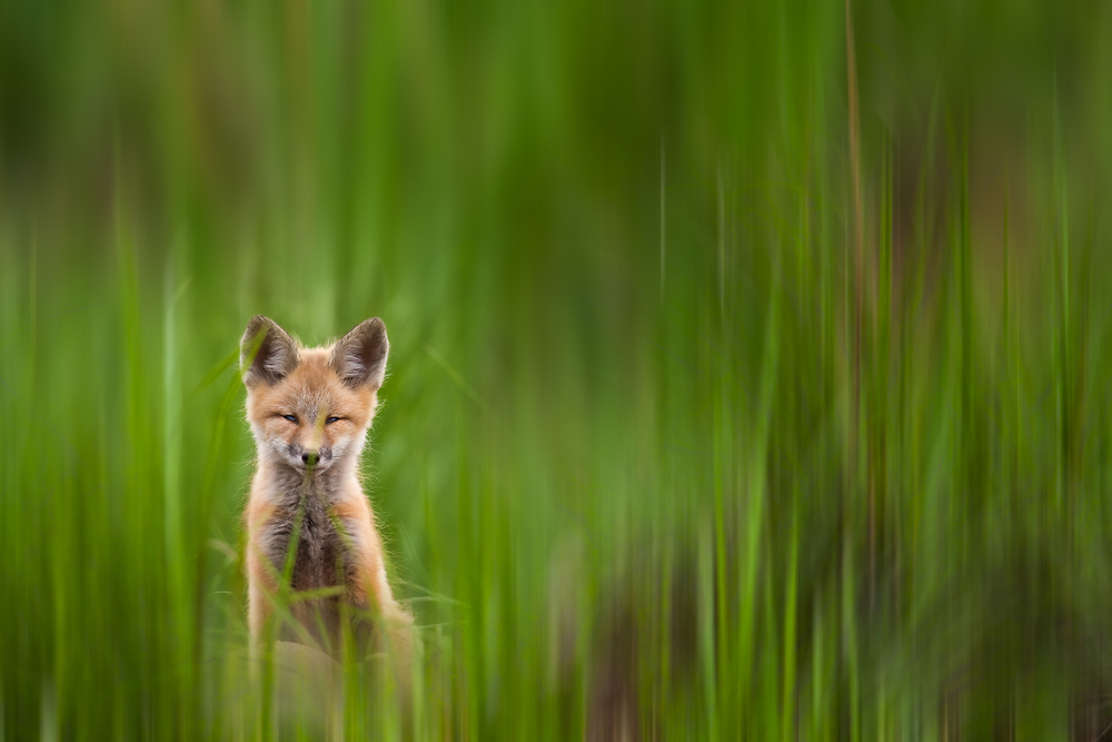 A fox kit stares at the photographer only to go cross-eyed in the process, Eagle, Colorado