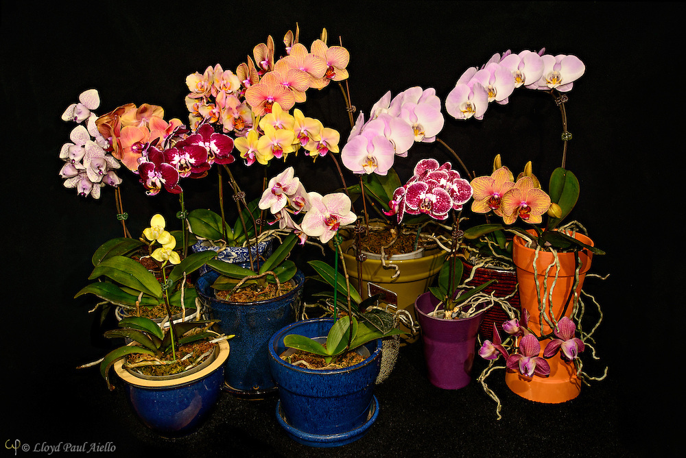Raised by the photographer in his basement, a total of 14 flower spikes on 11 Phaeanopsis orchids bearing a total of 76 flowers all bloomed at once.  Phalaenopsis are also known as Moth Orchids and are native throughout southeast Asia from the Himalayan mountains to the islands of Polillo, Palawan and Zamboanga del Norte in the island of Mindanao in the Philippines and northern Australia.