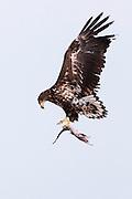 JAPAN, Eastern Hokkaido.Sub-adult white-tailed sea eagle (Haliaeetus albicilla) with fish in flight