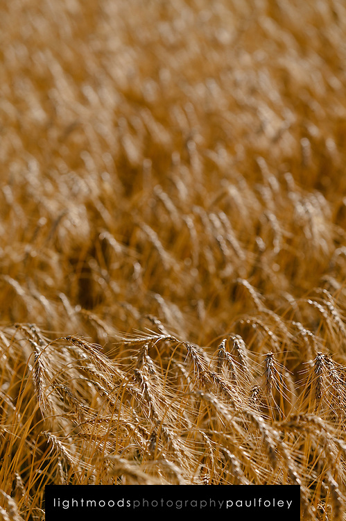Wheat, ready for harvest, Narrabri, NSW, Australia