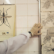 In the Laboratory of Environmental Security Service of Recife. In the images the aedes mosquito egipty responsible for the various dengue, chicongunya and Zika virus.