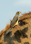 Yellow-billed Oxpecker (Buphagus africanus) on the back of a giraff in Serengeti, Tanzania