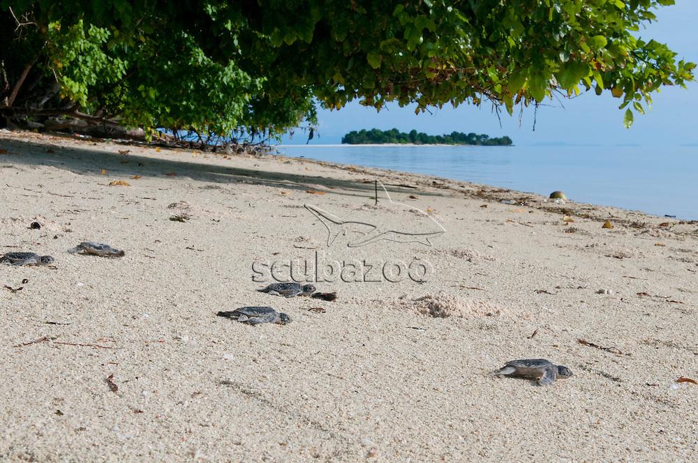 Green Sea Turtle, Chelonia mydas, Hatchlings on the beach, Mataking Island, Sabah, Borneo, Malaysia