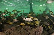 Fish taking refuge under dock<br /> Ambergris Caye<br /> Belize<br /> Central America