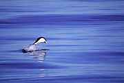 Southern Right Whale Dolphin<br />Lissodelphis peronii<br />off Chile<br />RANGE  Circumpolar in Southern Oceans