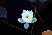 Nymphaea alba, also known as the European White Waterlily or White Lotus. It is an aquatic flowering plant of the family Nymphaeaceae.