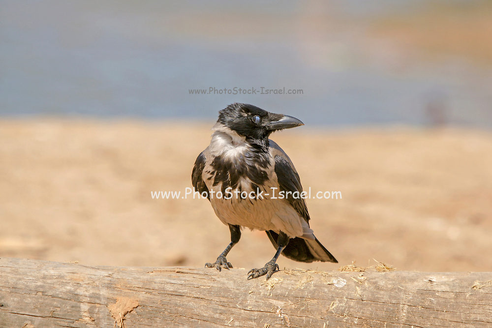 Hooded Crow (Corvus cornix) Photographed in Israel in January