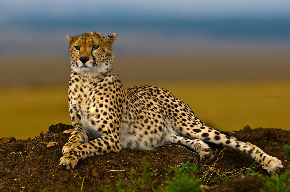 Cheetah on mound, Masai Mara National Reserve, Kenya