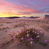 The Death Valley superbloom was pretty incredible. I couldn't help but return back to the dunes in search for this prolific field of pink verbena. I ended up going to Death Valley three times to check out the superbloom that year. The Death Valley Superbloom didn't disappoint!