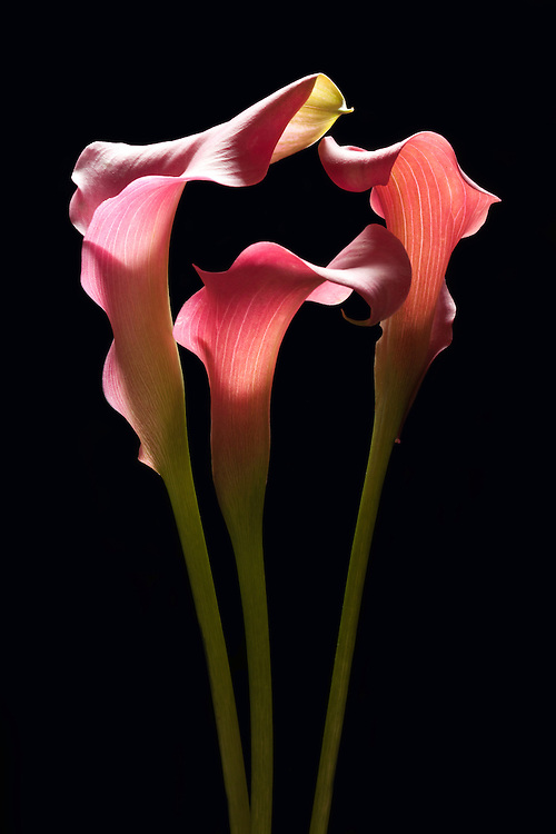 A melody of red callas photographed on a black background.