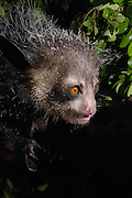 Aye-aye (Daubentonia madagascariensis) one of the more bizarre mammals in the world, their peculiar features include huge ears, bushy tail, long shaggy coast, rodent-like teeth and a skeletal 'probe-like' middle finger, Tsimbazaza Zoo, Madagascar