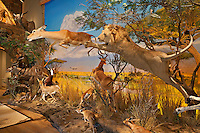 Lion attacking at deer in museum