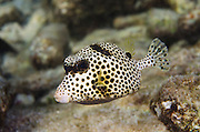 Spotted Trunkfish (Lactophrys bicaudalis)<br /> BONAIRE, Netherlands Antilles, Caribbean<br /> HABITAT & DISTRIBUTION: Above reefs, hover over open holes or under ledges.<br /> Florida Keys, Bahamas, Caribbean and south to Brazil.
