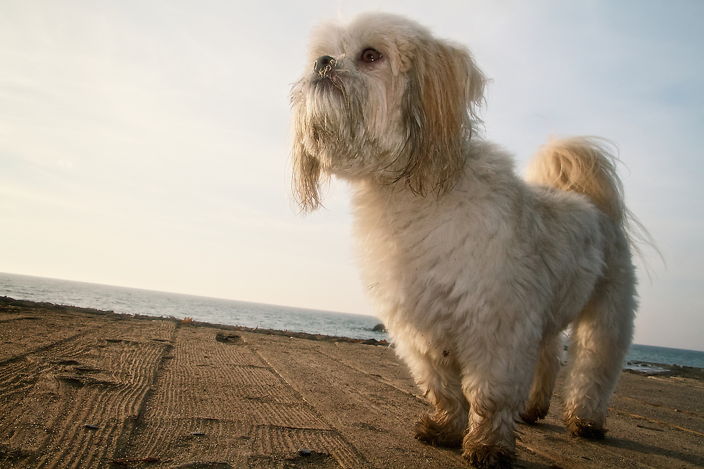 A Shih Tzu dog stands on a boardwalk