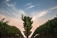 Sunset vineyard silhouette