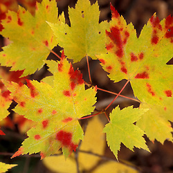 Baxter State Park, Me.Maple Leaves in Transition.