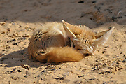 Fennec fox, (Vulpes zerda), sleeping on the warm sand