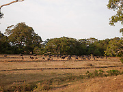 Sri Lanka, Ampara District, Arugam Bay, a herd of water buffalo AKA domestic Asian water buffalo (Bubalus bubalis)
