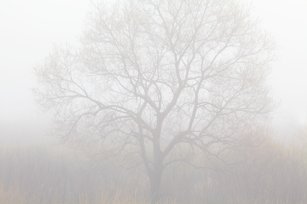 Ghost.<br /> Tree in Heavy Fog with early morning light.<br /> -Savannah National Wildlife Refuge<br /> Hardeeville, SC