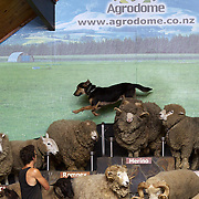 A sheep dog jumps off a sheeps back as different breeds of sheep are displayed during the sheep show at Agrodome, Rotorua. The Agrodome offers visitors the experience of seeing through the eyes of a New Zealand farmer. Situated just north of Rotorua city on a scenic 160 hectare sheep and beef farm, Agrodome gives visitors an educational and hands-on experience..  Agrodome includes a Sheep Show featuring 19 breeds of sheep, sheep shearing, cow milking, lamb feeding and dog demonstrations. .The Organic Farm Tour gives visitors a hands-on experience with a variety of farm animals. Rotorua, New Zealand,. 10th December 2010 Photo Tim Clayton.