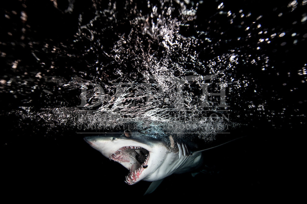 Mako sharks must swim with their mouths open to ensure a constant flow of water over their gills—a condition known as ram ventilation. For the same reason, they can never stop swimming. They are one of a small group of sharks that have an elevated body temperature that can be more than 10 degrees higher than the surrounding water. It is thought that this warm-bloodedness—focused around the swimming muscles, digestive system, eye and brain—may give them a predatory advantage when diving into deep, cold water in search of prey. Published in New Zealand Geographic Issue 135 September - October 2015. Richard Robinson © 2015.
