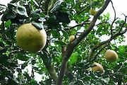 Pomela Fruit tree, Lyon Arboretum, Manoa Vally, Honolulu, Hawaii