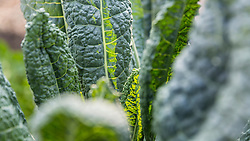 Kale growing at the Garrison-Trotter Farm in the Dorchester neighborhood of Boston, Massachusetts.