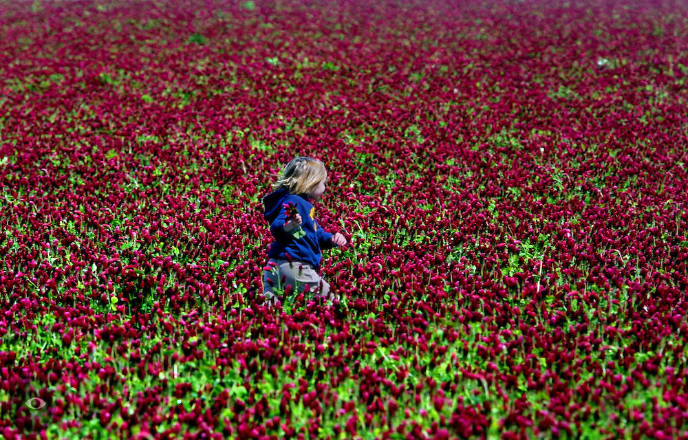 Monica Kelly makes her was across a field of crimson clover in St. Paul, Oregon, to meet up with siblings Isabel and Joe. Their family farms many acres of flowers and more.