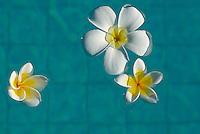 Indonesie. Lombok. Fleurs de frangipanier. // Indonesia. Lombok. Frangipani flowers.