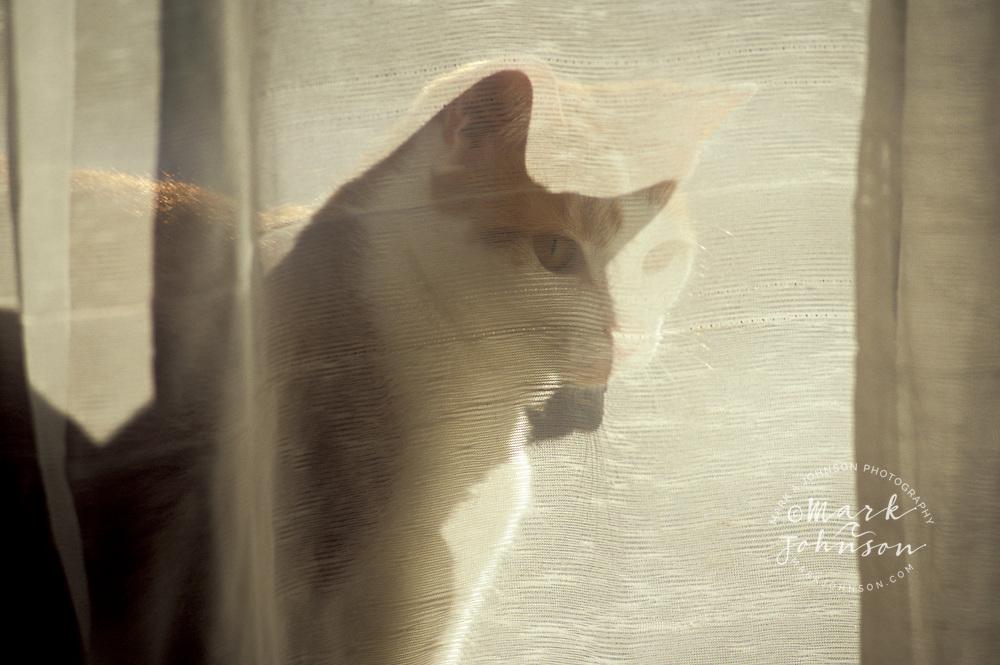 Kitten behind lace curtain