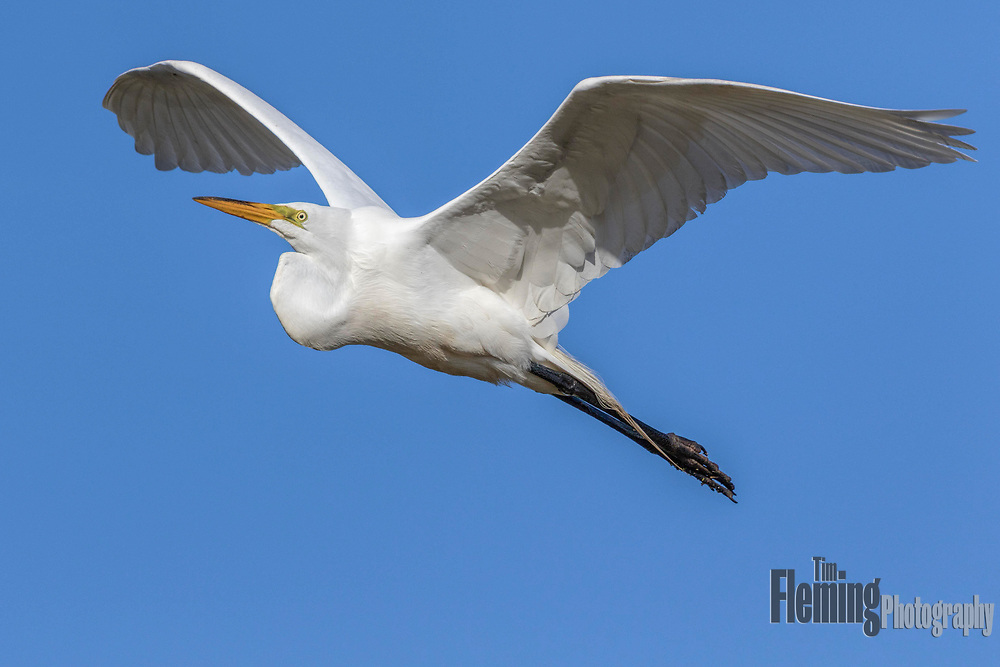 Great egret flying above Shollenberger Park, Petaluma, California