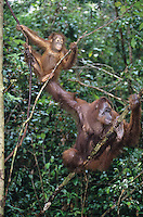 Two Orangutans hanging in trees