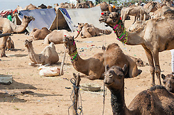 "© Licensed to London News Pictures. 21/11/2012. Pushkar, India. Dozens of camels waiting sit and stand waiting to be bought/sold at the Pushkar Camel Fair in Rajasthan, India. The Pushkar Fair, or Pushkar ka Mela, is the annual five-day camel and livestock fair, held in the town of Pushkar in the state of Rajasthan, India. It is one of the world's largest camel fairs, and apart from buying and selling of livestock it has become an important tourist attraction and its highlights have become competitions such as the ""matka phod"", ""longest moustache"", and ""bridal competition"".  Photo credit : Richard Isaac/LNP"